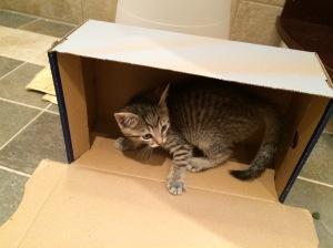 Chinchilla, loves a good shoe box