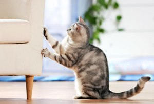 Be prepared to offer your cat approved scratching surfaces. If the furniture is too important to you, a cat might not be a good choice.