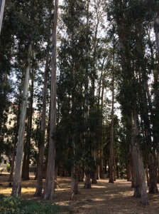 The Eucalyptus Grove.