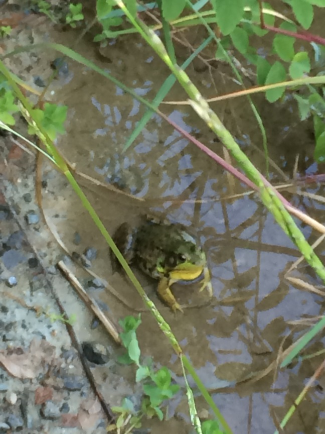 bullfrogs 3