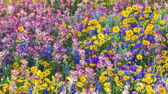 Flowers-Texas-Multicolor-Wildflowers-Spring-Bluebells-Nature-Image-3D-Download
