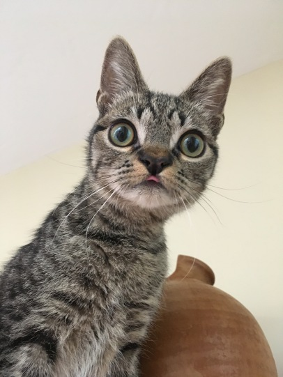 Pugcat
